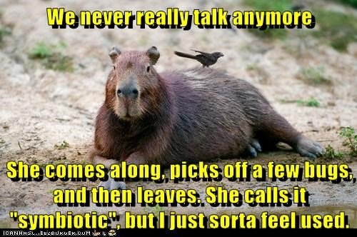 bird bugs capybara couple relationship symbiotic used - 6351673600
