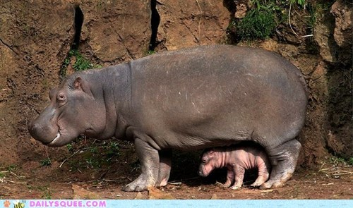 baby,hiding,hippo,hippopotamus,mommy,protecting,shadow