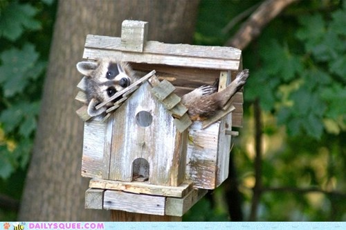 bird house,home invader,mistaken,raccoon,tree