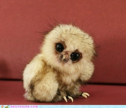 bird Owl baby floof cute Awkward categoryimage - 6352668672