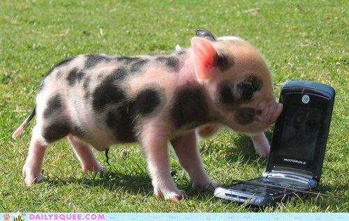 baby cellphone hello this is piglet pig piglet spots - 6352679936