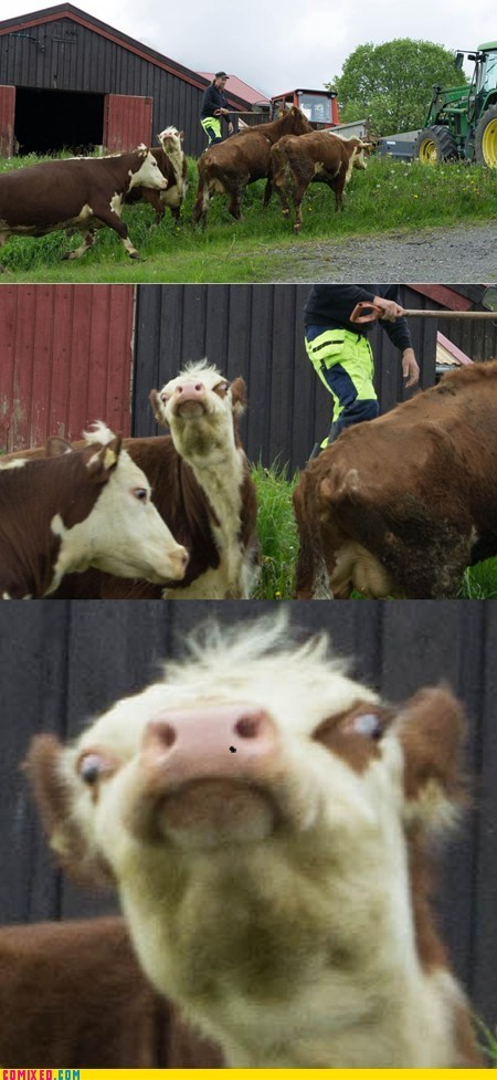 cow derp SOON the internets