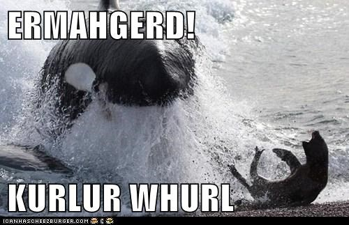 berks,captions,derp,Ermahgerd,killer whale,killer whales,orca,seal,seals,whales,yelling