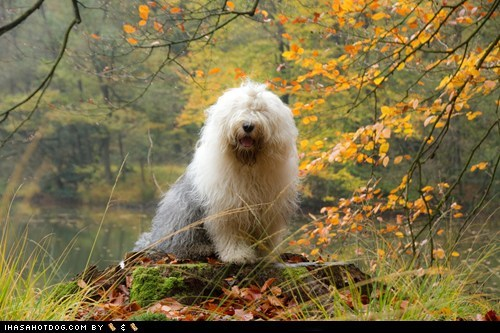 Forest,goggie ob teh week,old english sheepdog,shaggy