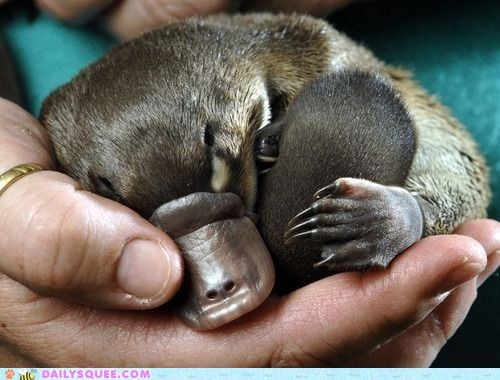 baby Hall of Fame hand nap platypus squee spree - 6353271040