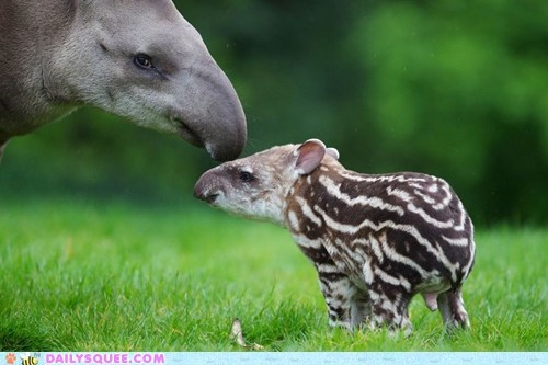 baby,mom,nose,tapir,ungulate