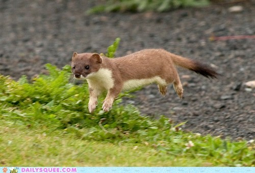 flying,hover,stoat,take off,weasel