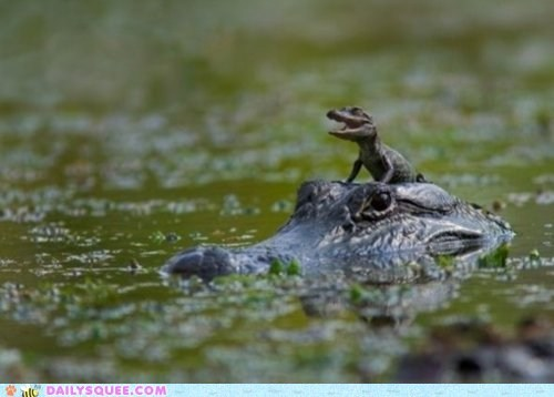 alligator,baby,daddy,marsh,reptile,squee