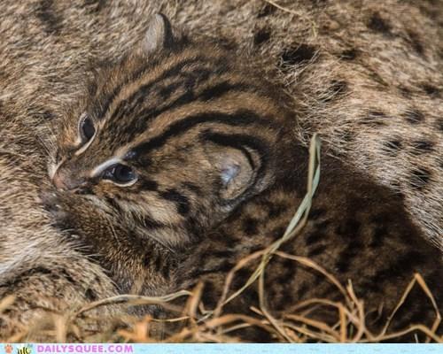 baby big cats cat Cats cub cubs fishing cat fishing cats kitten zoo - 6356188160