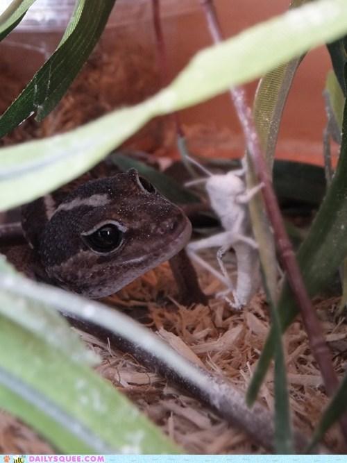 bug gecko hunting lizard pet reader squee - 6356192000