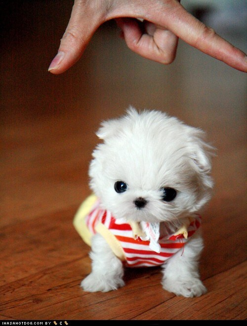 best of the week cyoot puppy ob teh day dogs Fluffy Hall of Fame hands pomeranian small squee tiny white - 6356699392