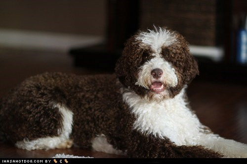 dogs face off goggie ob teh week portuguese water dog