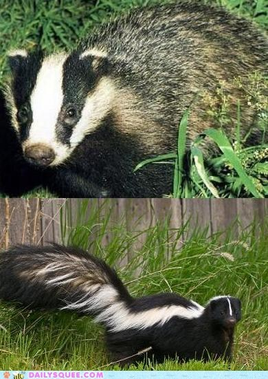 badger,black and white,face off,skunk,squee spree