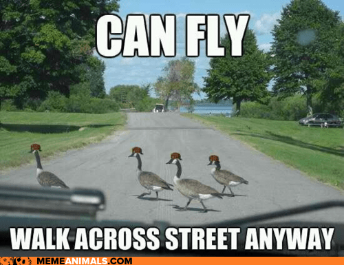 annoying fly geese in the way Memes Scumbag Steve scumbags walking - 6357073408