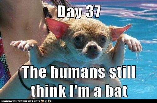 bat,bats,camouflage,captions,chihuahua,dogs,humans,impersonating,infiltration,look alikes,pools,swimming,tricked