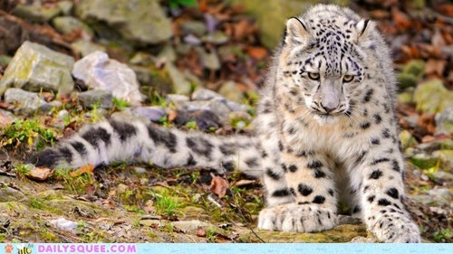 big cat Cats Hall of Fame paws snow leopard spots squee tail