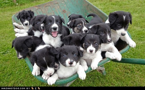 cyoot puppy ob teh day dogs puppy what breed wheel barrow