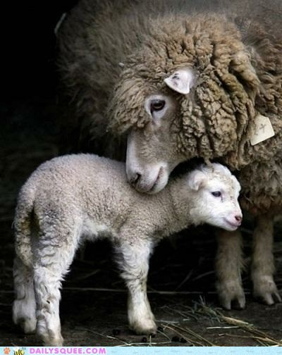 baby,ewe,fleece,lamb,mommy,sheep,squee