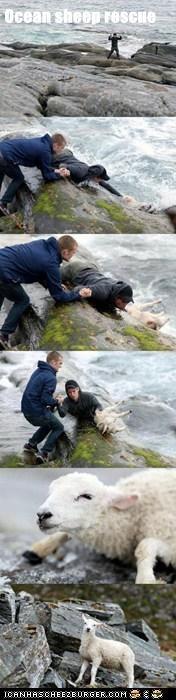 Ocean sheep rescue