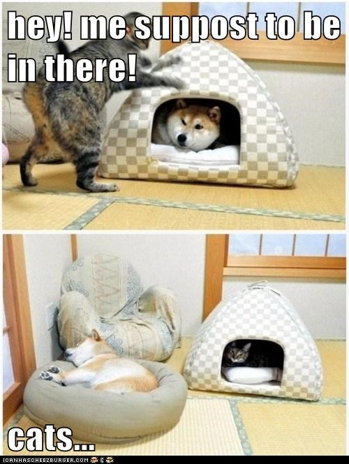 bed,cat,dogs,house,not fair,shiba inu