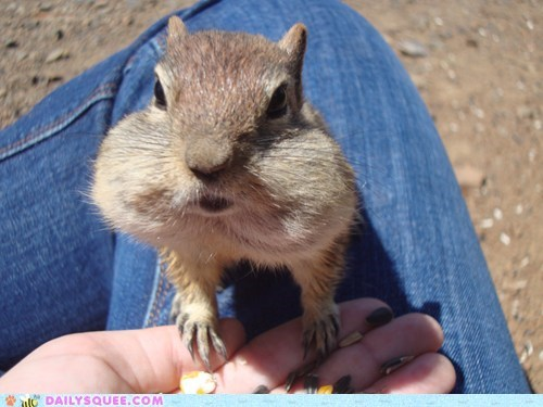 chipmunks seeds chubby cheeks nuts food more please squee