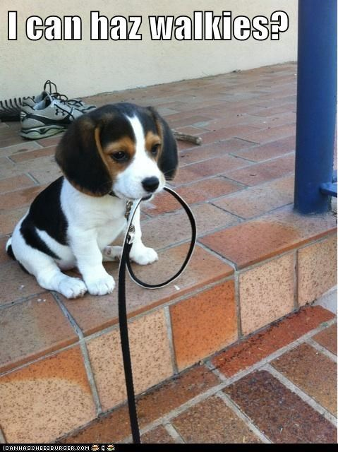 beagle best of the week captions dogs Hall of Fame i can has leash leashes puppy waiting walk walkies walking walks want - 6367134464