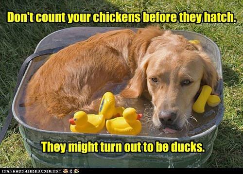 bath tub caption dogs golden retriever rubber duckies - 6369021184