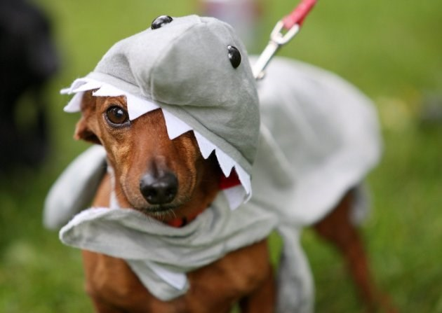 animals dressed as sharks for shark week