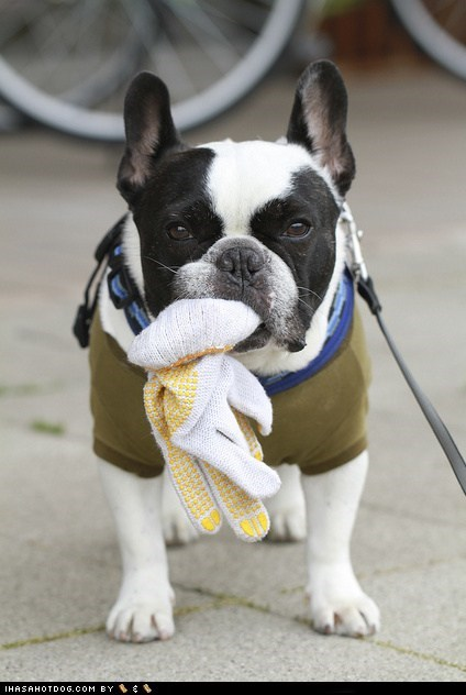 dogs,french bulldogs,glove,goggie ob teh week