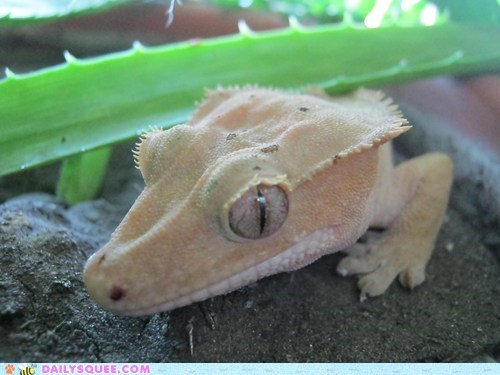 aloe vera gecko lizard pet reader squee - 6370187008