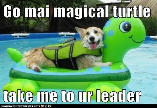corgi,dogs,floatation device,swimming pool,turtle