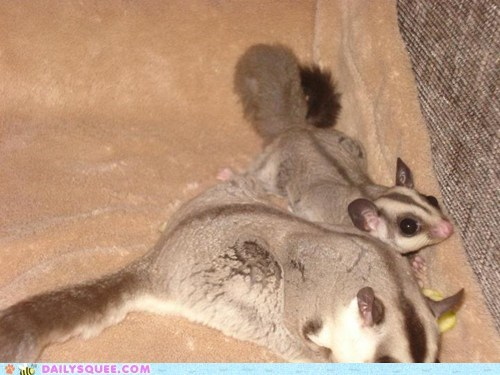 brother pet reader squee sugar gliders sweet