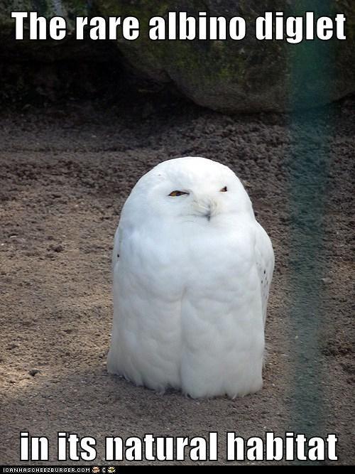 albino captions diglet natural habitat Owl Pokémon rare - 6371653888