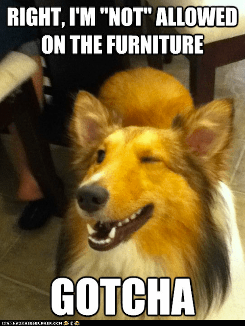 collies,dogs,furniture,gotcha,wink wink nudge nudge,winking,winks