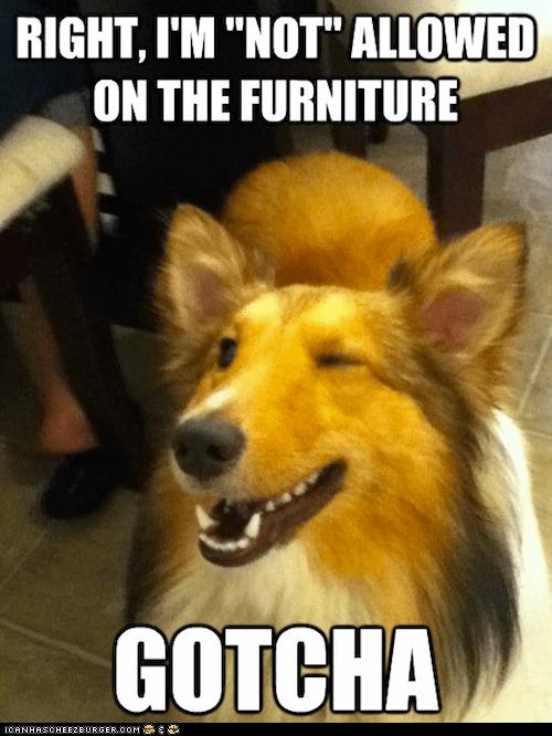 collies dogs furniture gotcha wink wink nudge nudge winking winks - 6372248576