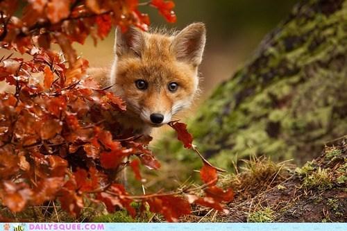 autumn cub fox hide and seek red squee - 6372345344
