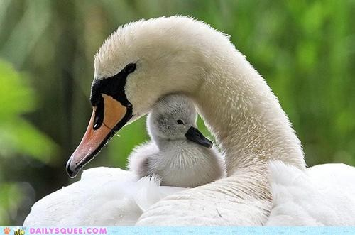baby bird cygnet hugs mommy swan - 6372369920