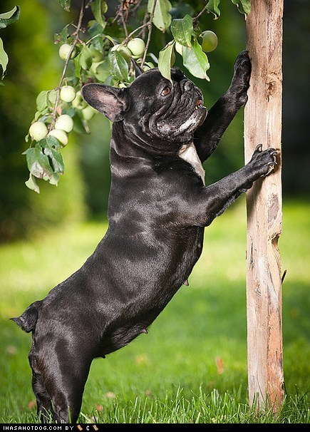 dogs french bulldogs goggie ob teh week tree - 6372830976