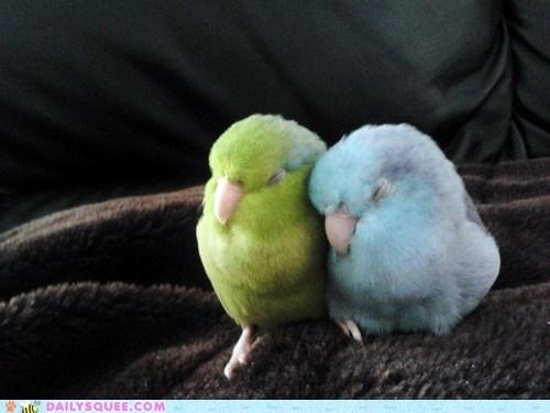 birds cuddles in love love birds nap parakeet - 6375525632