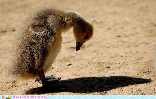 bird bullying duck duckling shadow ugly duckling - 6375531264