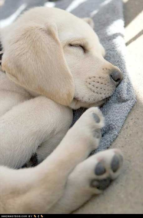 cyoot puppy ob teh day dogs nap puppy sleep yellow lab - 6375992064