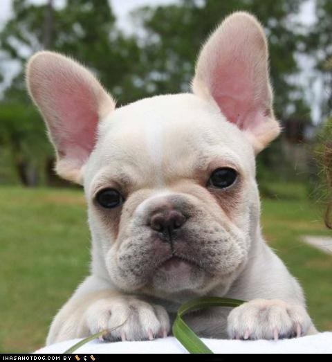 dogs,french bulldogs,goggie ob teh week,white