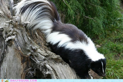 Fluffy skunk squee spree stripes tail - 6376152320