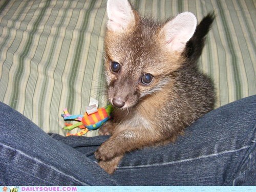 Fizzgig the 6 weeks olf gray fox