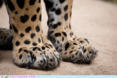 feet Leopard kitteh paws toe beans - 6378778624