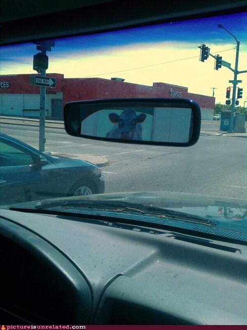 car cows rearview mirror tailgating wtf - 6378944256