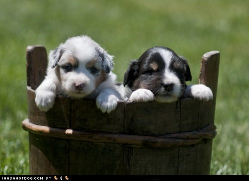 australian shepherd,bucket,cyoot puppy ob teh day,dogs