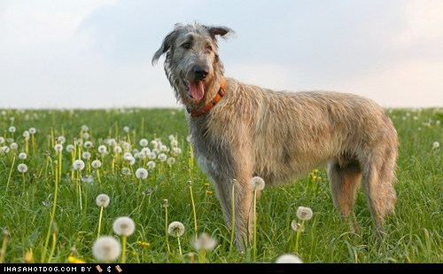 dogs,face off,goggie ob teh week,irish wolfhound