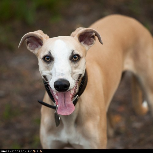 dogs face off goggie ob teh week whippet - 6379437568