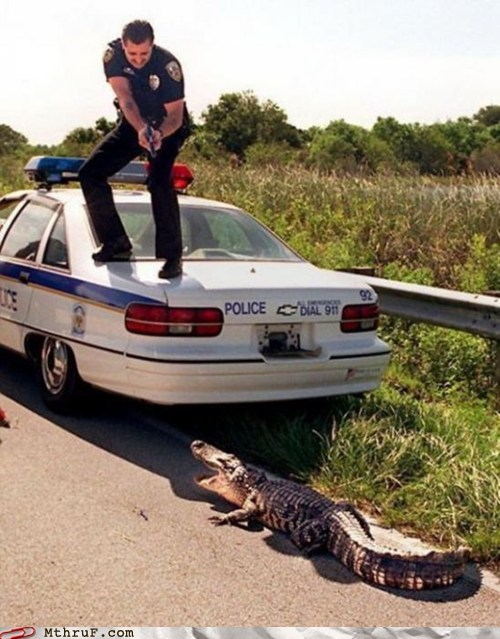 alligator arrested cop crocodile handcuffs police - 6379461120
